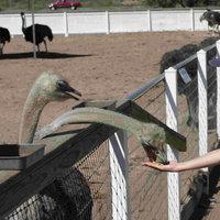 rooster-cogburn-ostrich-ranch-amusement -park-az