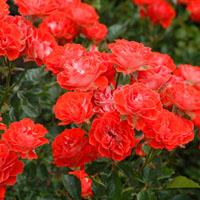 rose-garden-at-mcc-az